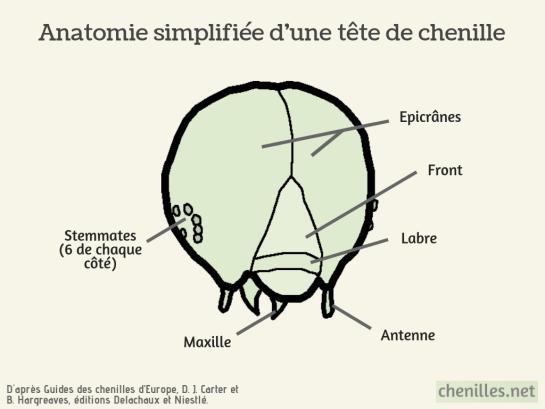 Anatomie simplifiée d'une tête de chenille.png