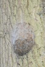 Nid vide sur un tronc, avec mues visibles