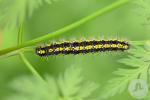 Callimorpha dominula (3)