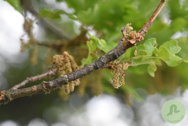Catocala sponsa (1)