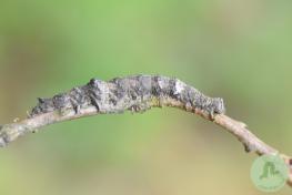 Catocala sponsa (2)