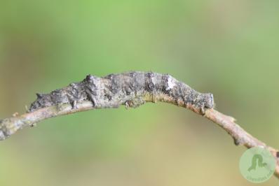 Chenille de Fiancée (Catocala sponsa) volontairement placée sur une fine branche pour mieux la mettre en évidence.
