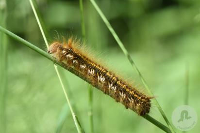 La Buveuse (Euthrix potatoria)