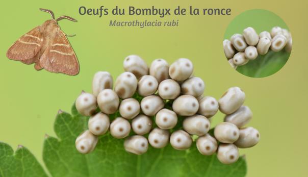 Oeufs du Bombyx de la ronce