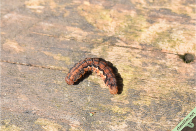 Hibernie défeuillante en pré-nymphose. Montalieu (38), le 7 mai 2021.