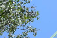 Exemple d'indice de présence des chenilles de la Grande tortue : une branche de Peuplier noir défoliée. Les chenilles viennent de quitter la branche du bas, en grande partie grignotée, pour s'installer un peu plus haut sur une branche encore en feuilles. Elles étaient installées à environ 2m50 de hauteur. Bouvesse (38), le 5 mai 2021.