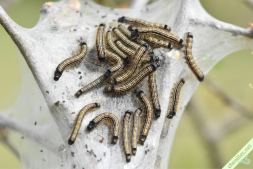 Chenilles au troisième stade larvaire, s'apprêtant à passer au quatrième. Bouvesse (38), 21 avril 2021.