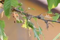 Les chenilles ont quitté le cerisier, mais on peut encore voir le petit nid de soie dans lequel elles ont passé les deux premiers stades de leur vie, ainsi que les exuvies (peaux vides) qu'elles ont laissé derrière elles après la mue. Remarquez qu'elles n'ont pas touché aux cerises ! Vasperviller (57), le 20 mai 2018.