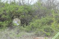 Exemple de situation d'un nid de Laineuses du cerisier, ici dans un petit prunellier d'à peine 50 cm. Optevoz (38), le 27 avril 2021.