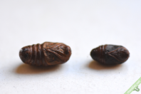 Deux chrysalides de Laineuse du cerisier. La femelle, à gauche, est plus volumineuse que le mâle.