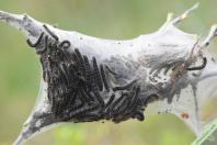Autre nid avec des chenilles plus développées à St-Pons (07) le 25 avril 2021.