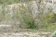 Un exemple de biotope de cette espèce, ici une ancienne carrière envahie de jeunes peupliers.