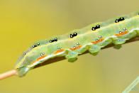 Chenille du Bois-sec (Xylena exsoleta) observée le 22 juin 2021 sur un Séneçon jacobée (Jacobaea vulgaris)