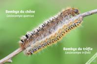 Comparaison de la chenille du Bombyx du chêne avec celle du Bombyx du trèfle - vue latérale