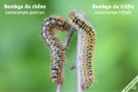 Comparaison de la chenille du Bombyx du chêne avec celle du Bombyx du trèfle - vue dorsale