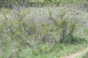 Un exemple de biotope favorable aux chenilles du Gazé : de jeunes aubépines et prunelliers dans une prairie en voie de refermement, ici sur les hauteurs du sentier botanique de Charray (38)