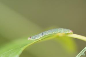 La Bordure entrecoupée (Lomaspilis marginata)
