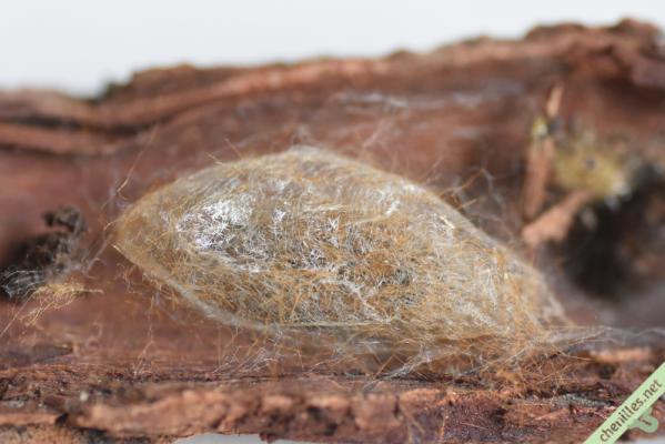 Cocon tissé par la chenille peu avant la nymphose, et agrémenté de poils urticants.