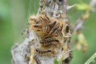 Volumineux nid de Bombyx cul-brun dans un Églantier à Saint-Jean de Maurienne (73) le 27 avril 2021.