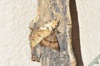 Deux autres prétendants viennent rapidement le remplacer. Au total ce sont 4 mâles qui ont été attirés par la femelle, et tous présentaient une coloration des ailes différente.