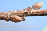Jeune chenille grignotant un bourgeon de chêne au début du printemps.