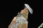 Cousinade ! Cossus en compagnie d'une Zeuzère du poirier (Zeuzera pyrina), une autre espèce xylophage de la même famille. Toujours à Saint-Égrève (38), dans la nuit du 27 juillet 2021.